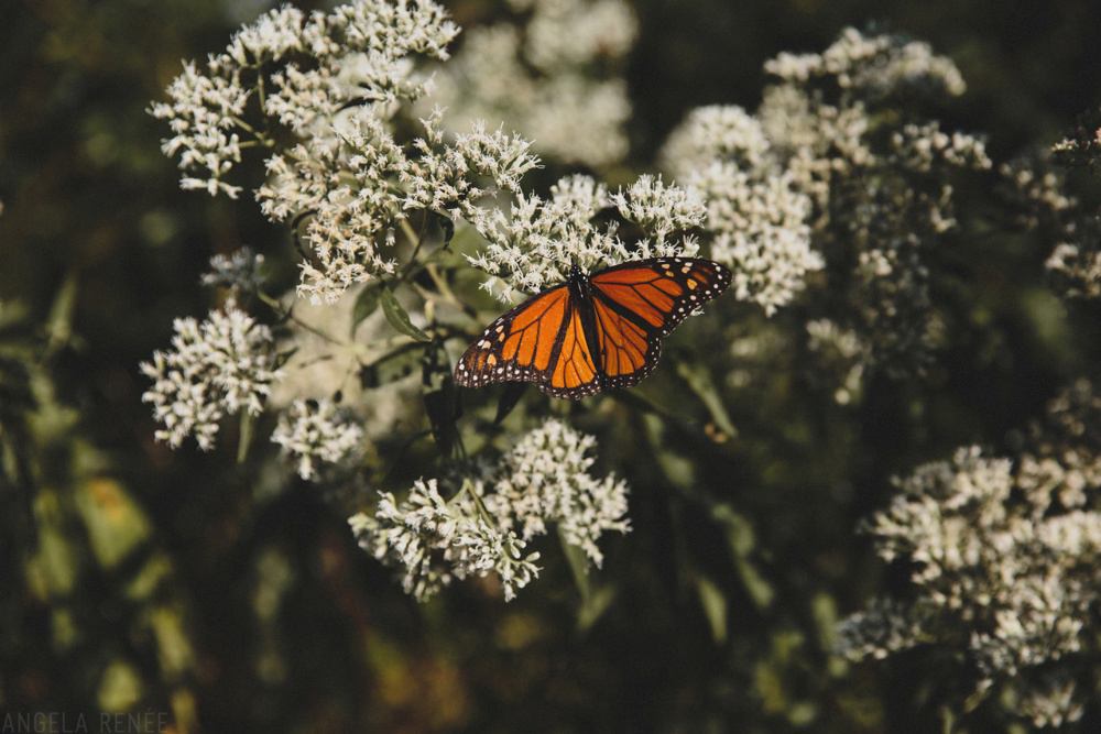 monarch-butterfly-wedding